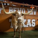 Bevo. (Will Gallagher/IT)